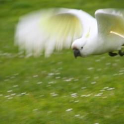 Kakadu im Anflug