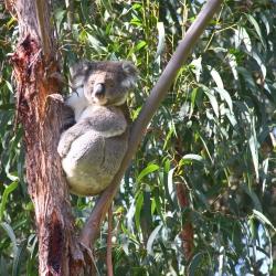 Koalas im Kennett Jeep Track
