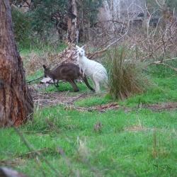 Känguru braun und weiß