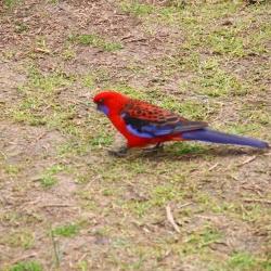 Rotblauer Papagei