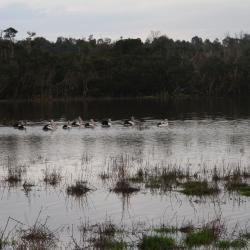 Pelikane in der überfluteten Wiese