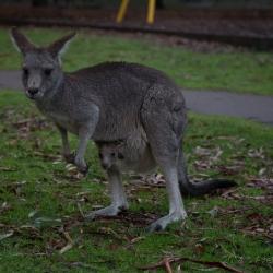 Doppeltes Kangaroo