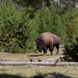 Yellowstone Nationalpark, Wyoming